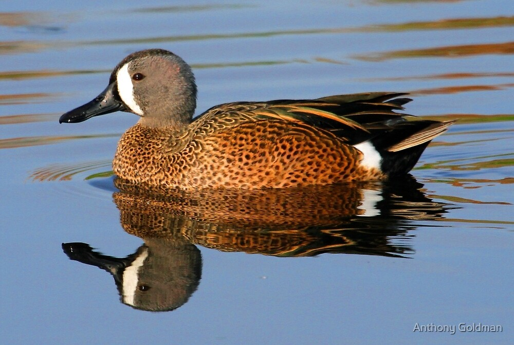 Blue winged teal with reflection by Anthony Goldman