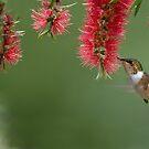 Scintillant Hummingbird in Flight by Raymond J Barlow