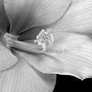 Black and White Amaryllis Bloom by Bo Insogna