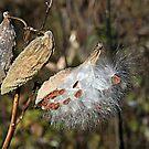 Milkweed in  the Breeze by teresa731