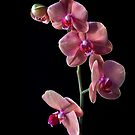 Phalaneopsis Cluster by Endre