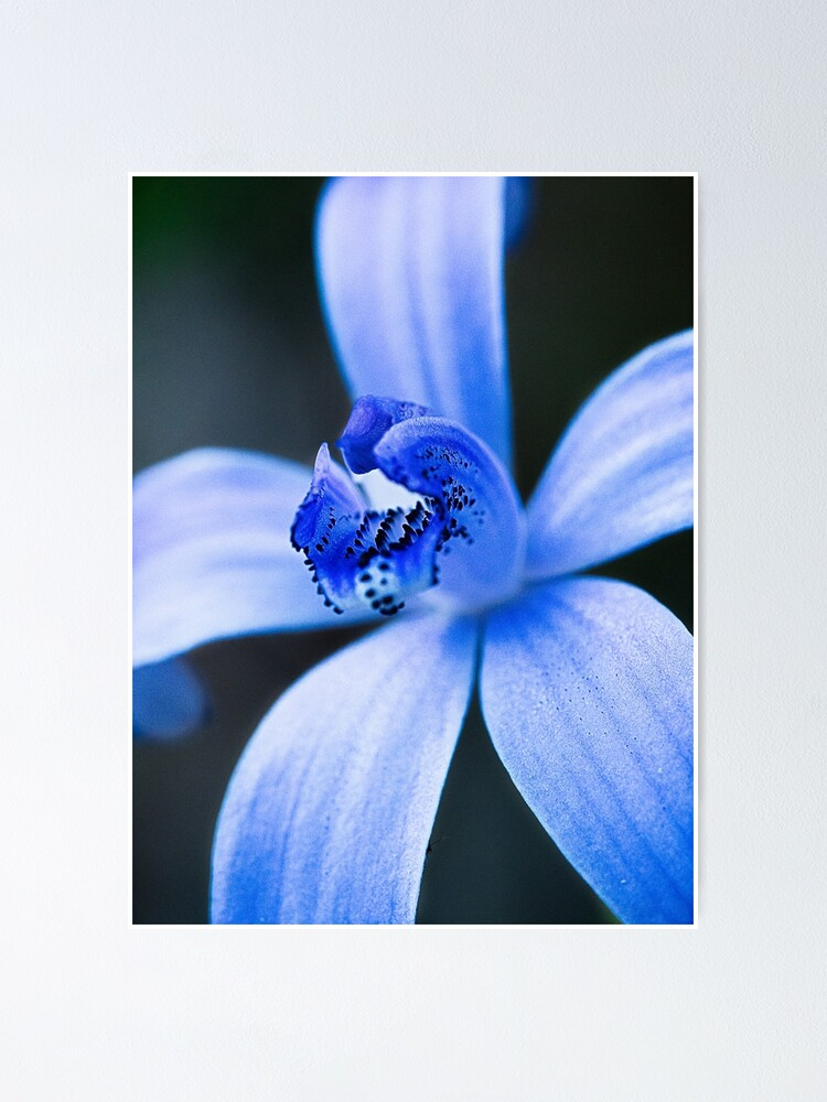 Alternate view of Silky Blue Orchid Poster