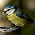 Bluetit by laurav