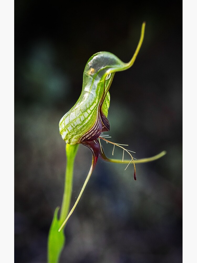 Bird Orchid by AmyesPhotograph