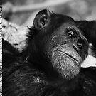 Chimpanzee by JimFilmer