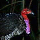 Australian Brush Turkey by naturalnomad
