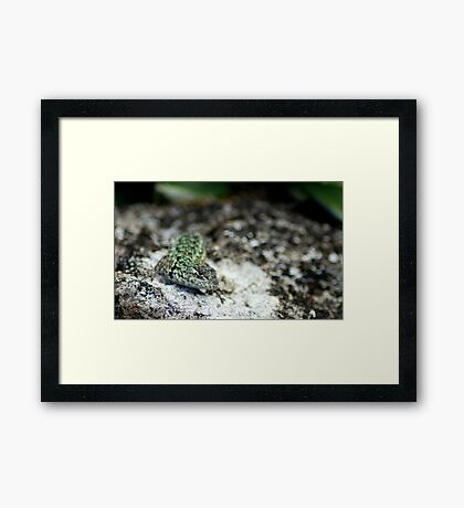 Emerald Swift (Sceloporus malachiticus) - Costa Rica  Framed Print
