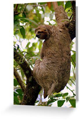 Three-toed sloth (Bradypus variegatus) - Costa Rica by Jason Weigner