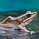 Pool Frog by Normf