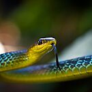 Green Tree Snake, Dendrelaphis punctulata by Normf