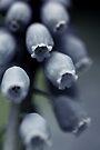 A lovely Grape Hyacinths by Bob Daalder