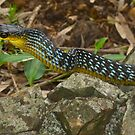 Green Tree Snake, Dendrelaphis punctulata by Odille Esmonde-Morgan