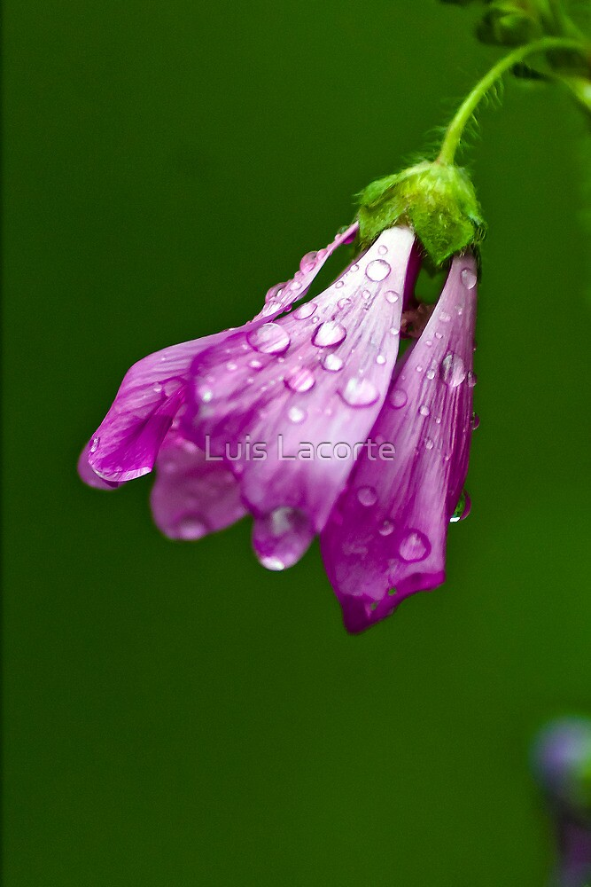 Raindrops by Luis Lacorte