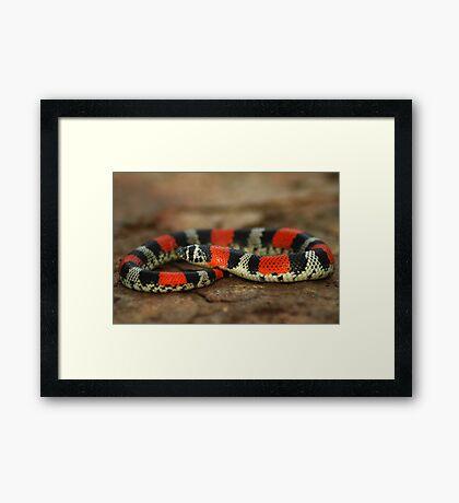 Ringed Hognose Snake (Lystrophis semicinctus) - Bolivia Framed Print