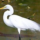 Great white egret in full breeding plummage by Anthony Goldman