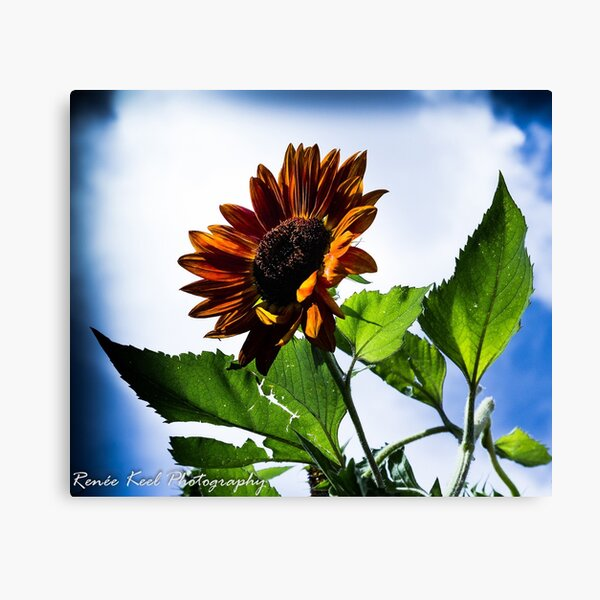 Sunflower in Santa Fe Canvas Print