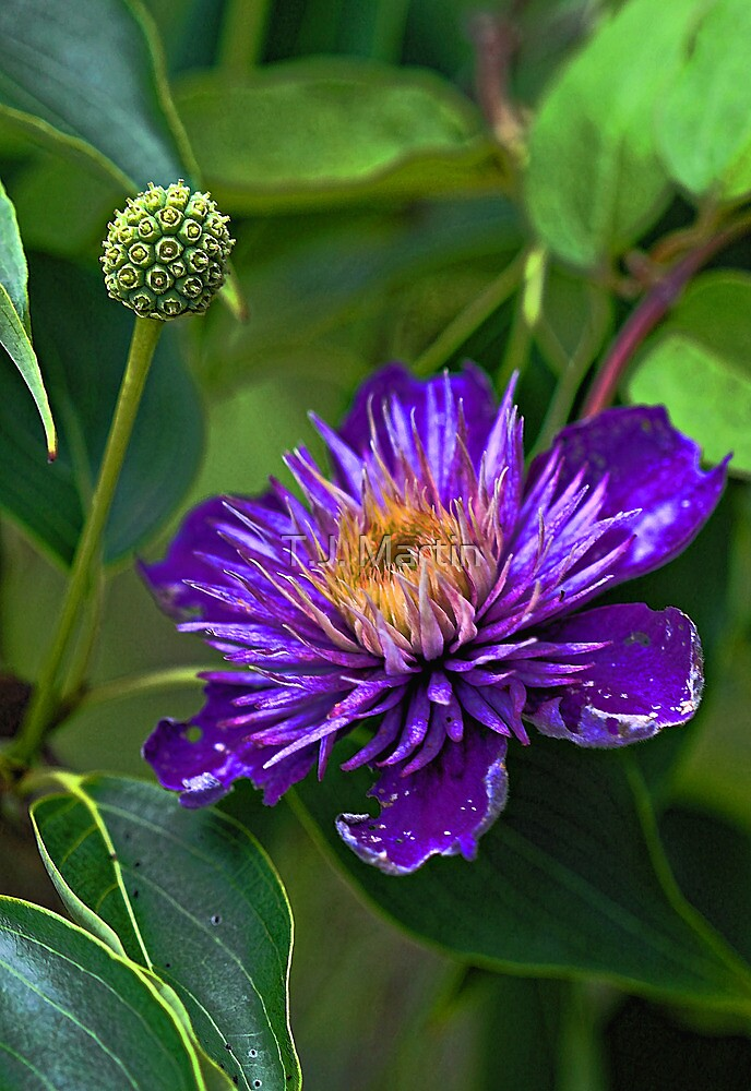 Clematis - Faded Beauty  by T.J. Martin