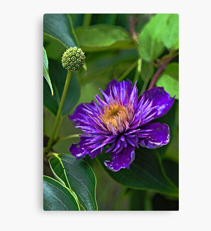 Clematis - Faded Beauty  Canvas Print