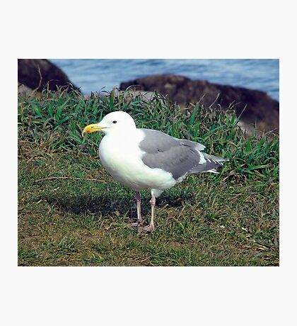 Seagull (4) Photographic Print