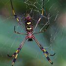 Banana Spider by Adam Northam