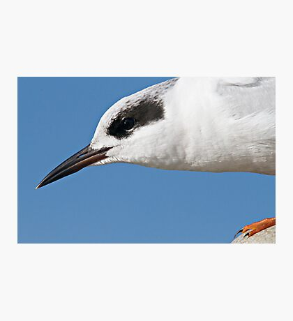 Forster's Tern Close Up Photographic Print