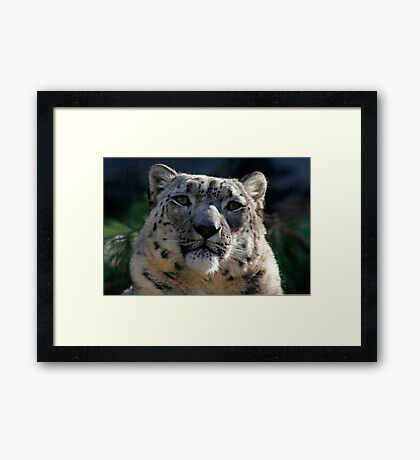 A Captive Expression (Snow Leopard) Framed Print