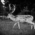 Young Stag by Matt Sillence