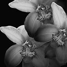 Silver Orchids by Mistyarts