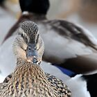 Mallards wintering over at Michigan Center by Mary Westhoff