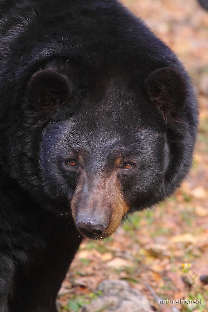 Florida Black Bear by naturalnomad