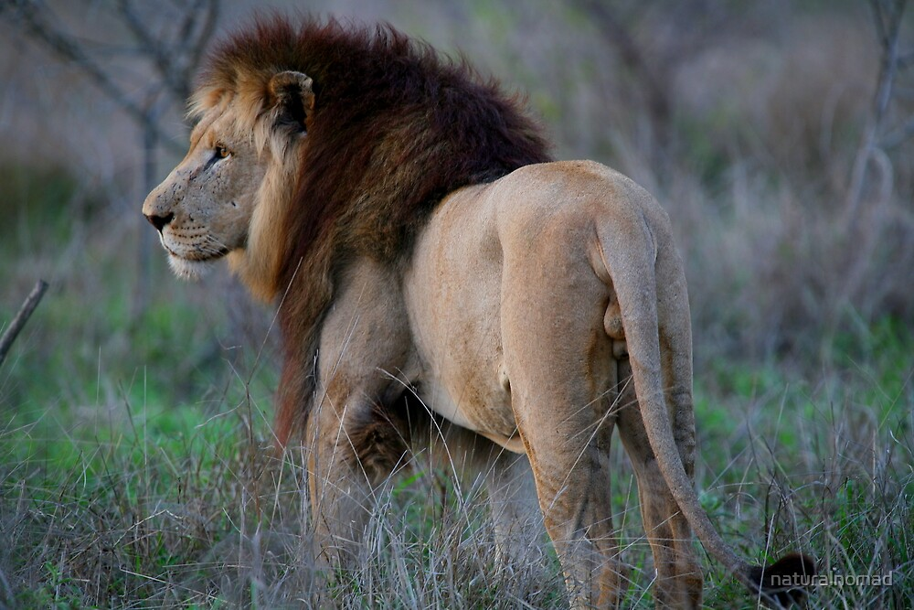 King of the Beasts by naturalnomad