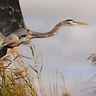 Great Blue Heron Takes Flight by naturalnomad