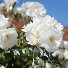 White Roses by shoshanah