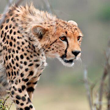 Male Cheetah  by bfra