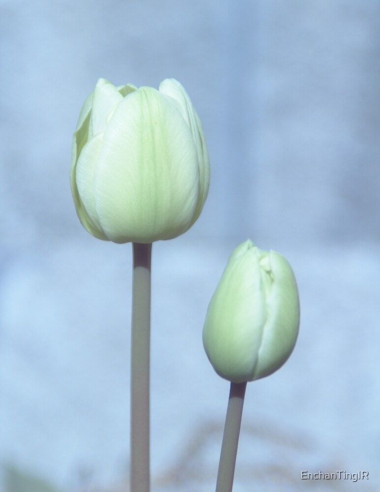 A pair of white tulips by EnchanTingIR