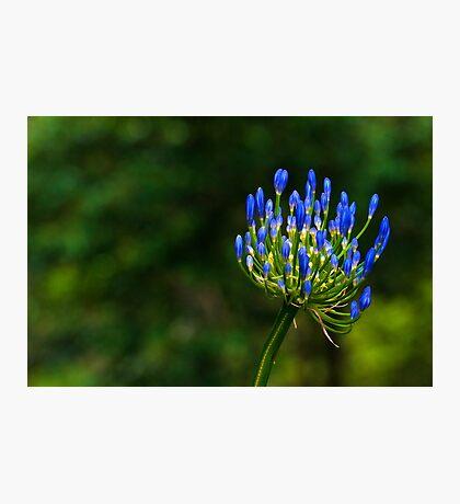 101229 Blue Mounttain Agapanthus Photographic Print