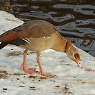 Egyptian Goose by Robert Abraham