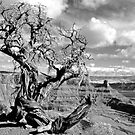 Twisted Juniper at Dead Horse Point by Alex Cassels