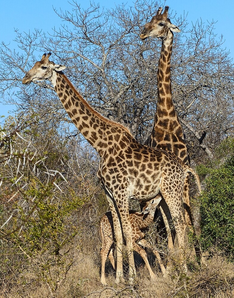 Giraffes in all sizes by Linda Sparks