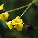 Bush Flower by Catherine Davis