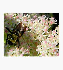 Bumble Bee       ^ Photographic Print