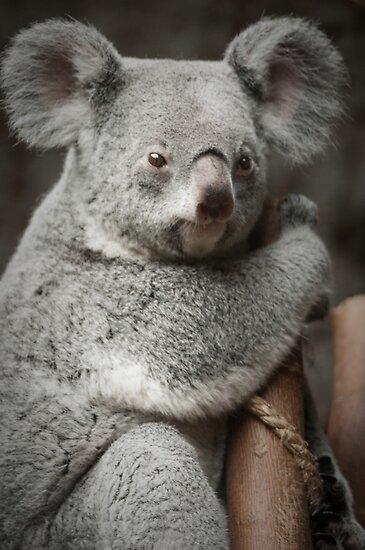 """""Big Ears"" - koala bear"" by John Hartung 