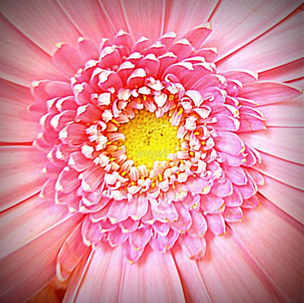 Blushing Pink Gerbera closeup by ©The Creative  Minds