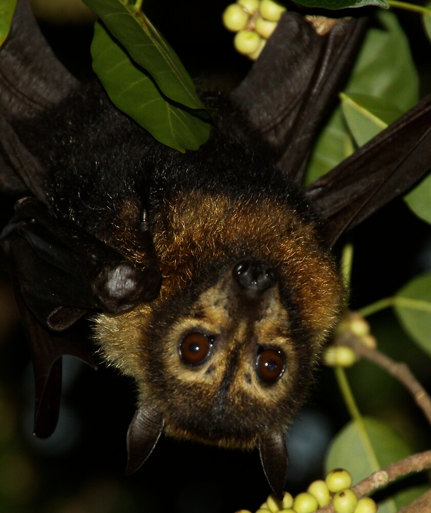 Fruit Bat Cairns Australia by Peter Tachauer