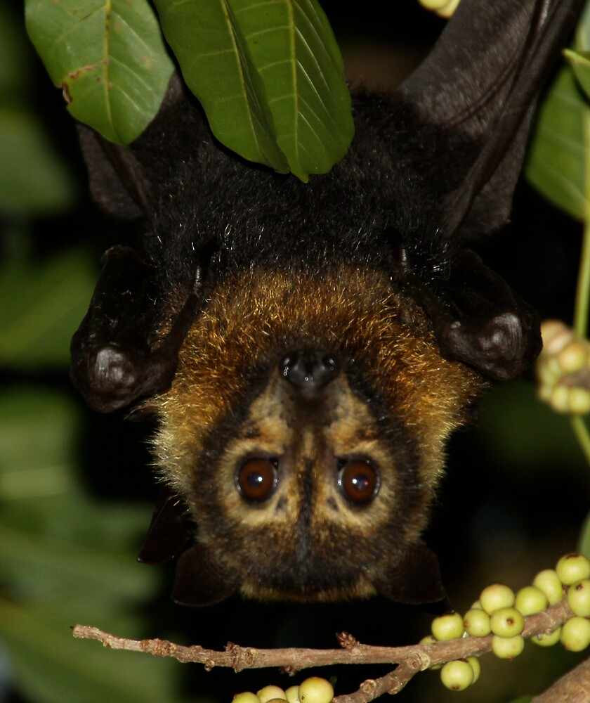Fruit Bat or Flying Fox by Peter Tachauer