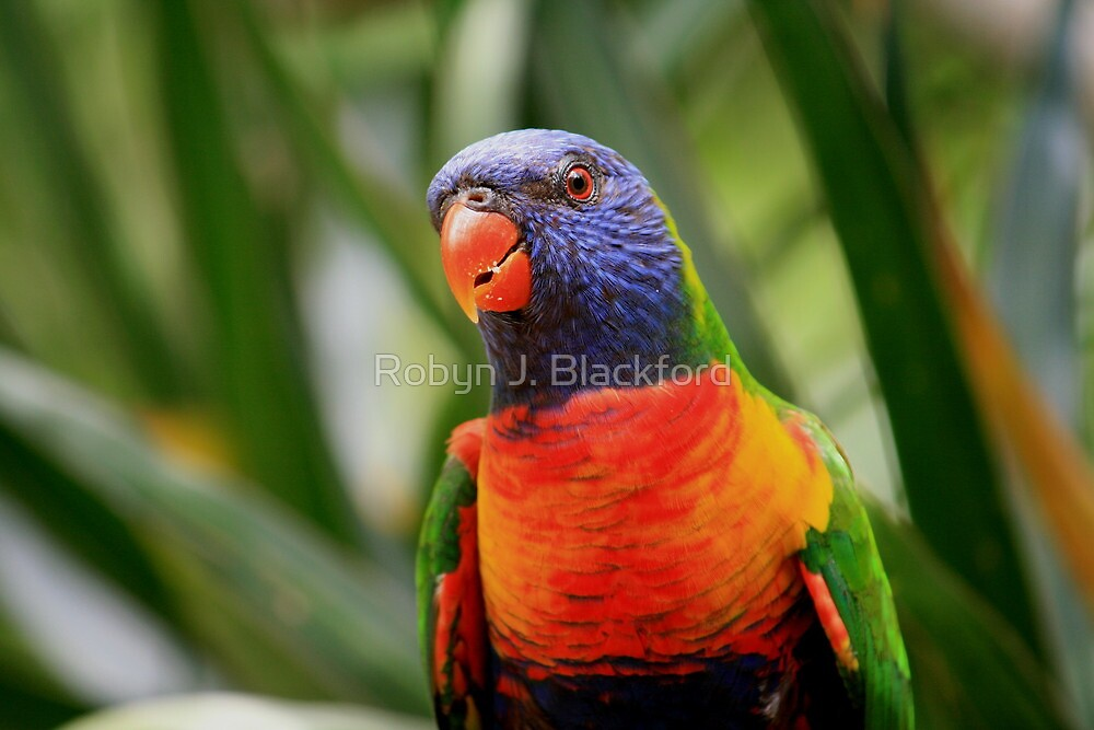 Colourful Rainbow Lorikeet by aussiebushstick