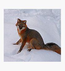 Grey Fox Photographic Print