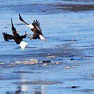 Bald Eagle Dispute by barnsis