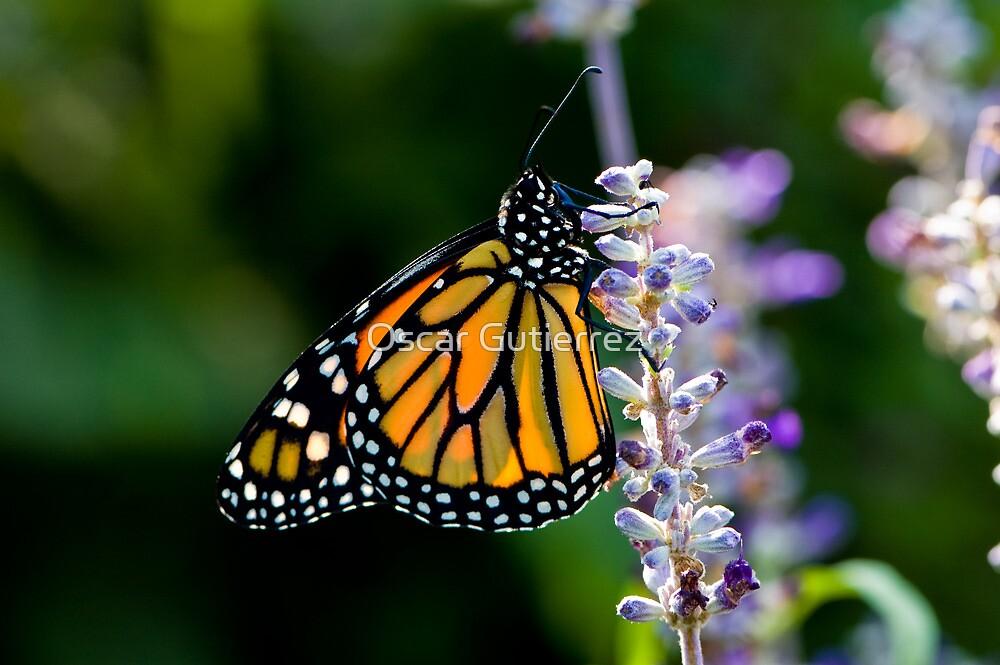 Monarch Butterfly by Oscar Gutierrez