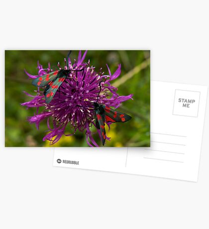 """Greater Knapweed with """"6-spot Burnet"""" Moths Greeting Card"""